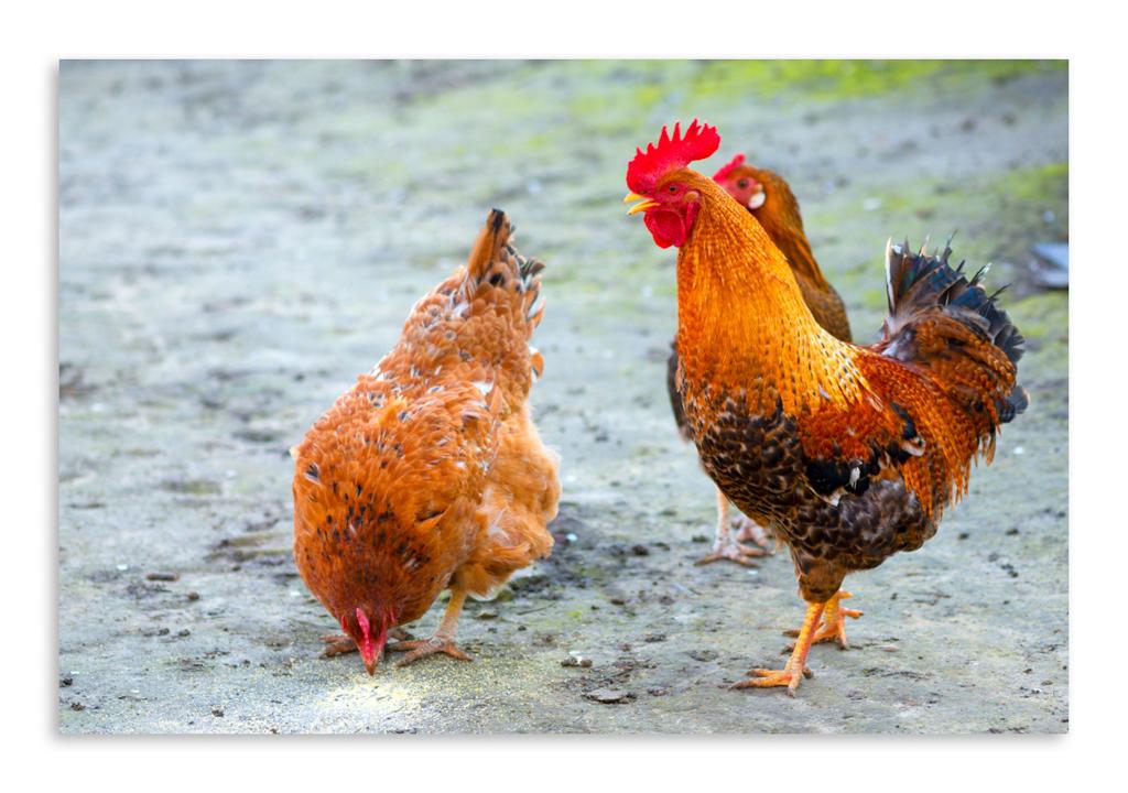 картинки хорошего качества курица ванная способна