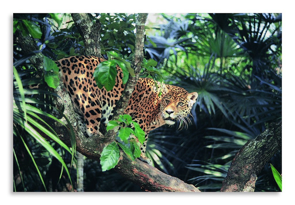 Jaguar rainforest
