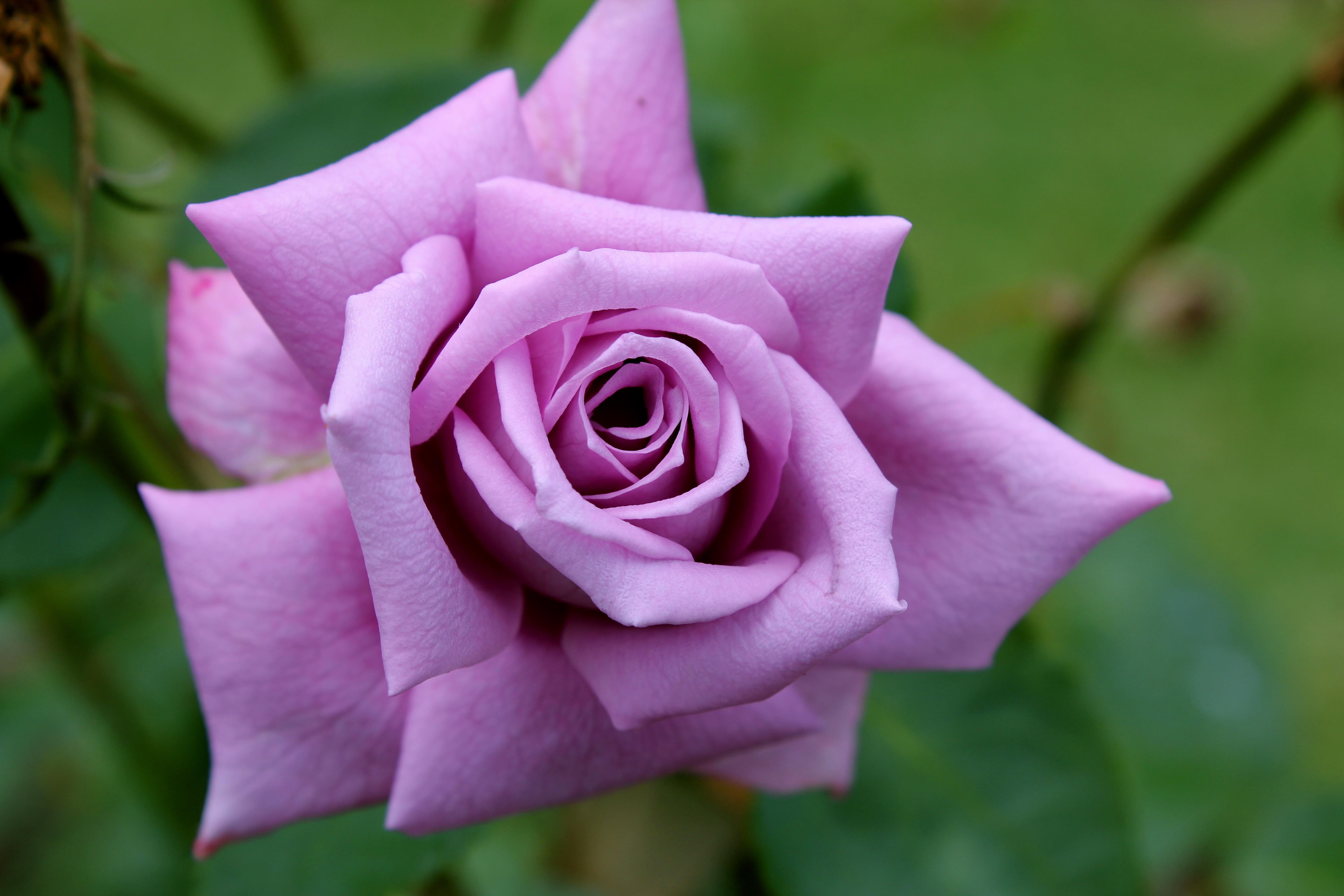 Картинки, розы самые красивые картинки